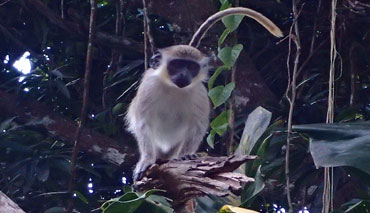 Vervet Monkeys, introduced to Nevis sometime in the 1700's, came on ships